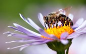 bee or honeybee in Latin Apis Mellifera on flower