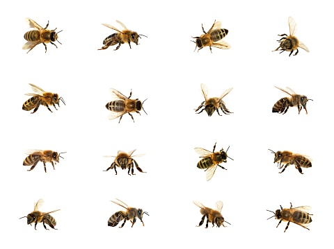 bee or honeybee isolated on the white background 1128706727