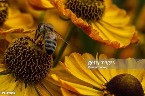 Bee perching on sneezeweed (Helenium)