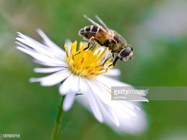 bee - invertebrate stock photos and pictures