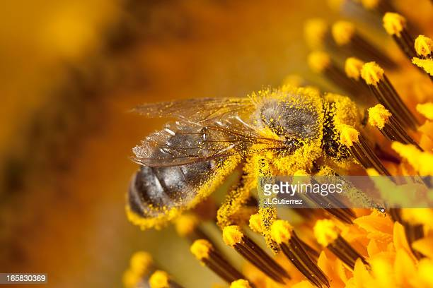 bee - helianthus stock photos and pictures