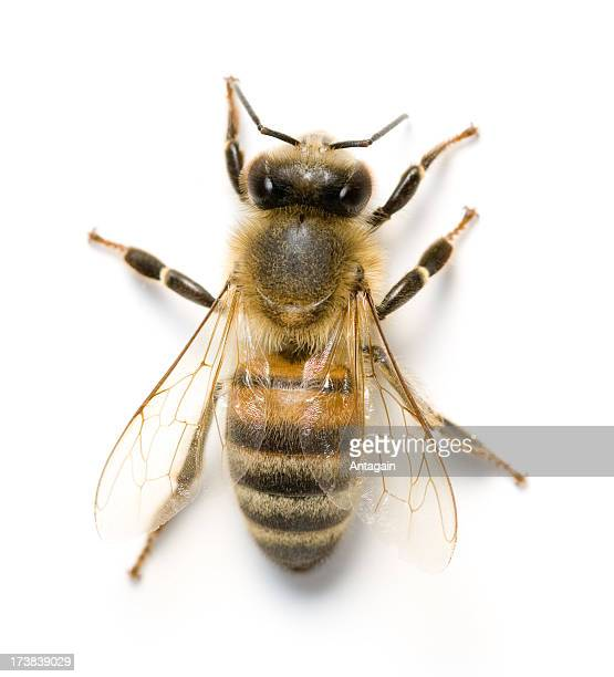 bee - bee stock pictures, royalty-free photos & images