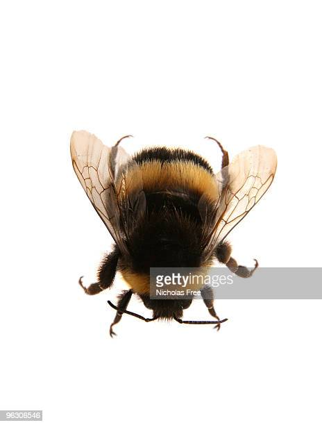 bee - bumblebee stock pictures, royalty-free photos & images