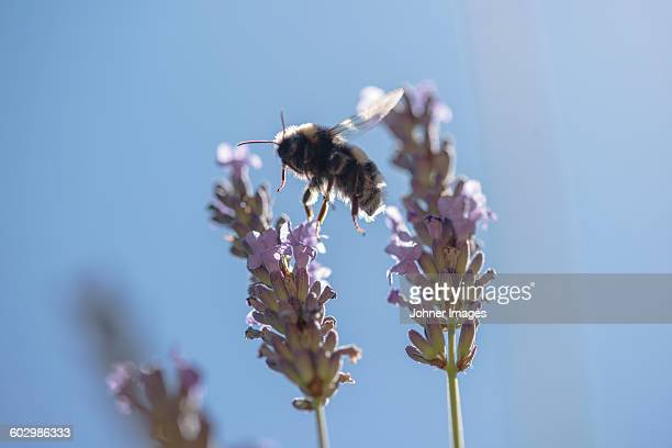 Bee pollinated flower