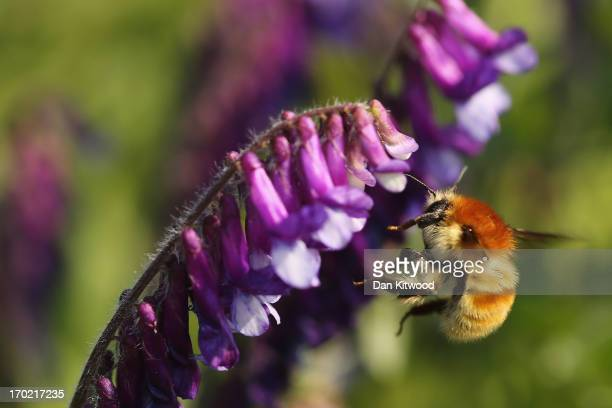 A bee pollinates a flower at 'Thurrock Thameside Nature Park' on June 6 2013 in Thurrock England The 120 acres of grass bramble and shrub that make...