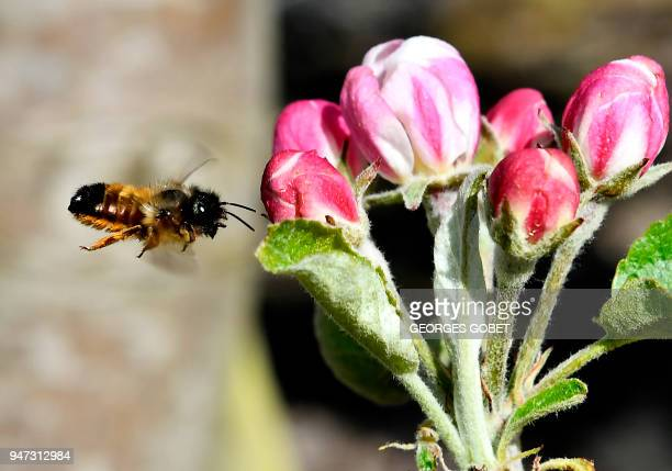 A bee pollinates a flower in an orchard near Agen south west France on April 5 2018 These bees called Osmies a species of the Red Mason bees are used...
