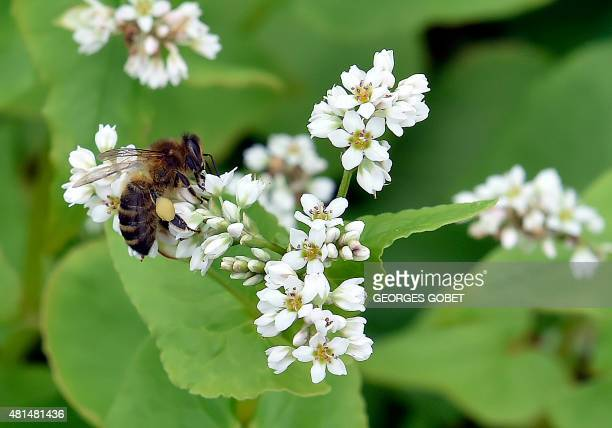 A bee pollinates buckwheat flowers in a field near SaintJust on July 21 2015 Buckwheat is traditionally used to make crepes AFP PHOTO / GEORGES GOBET...
