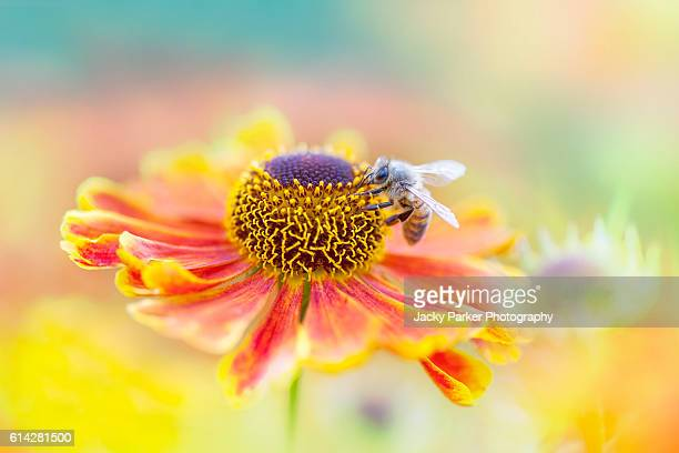 Bee pollinating a Helenium Flower