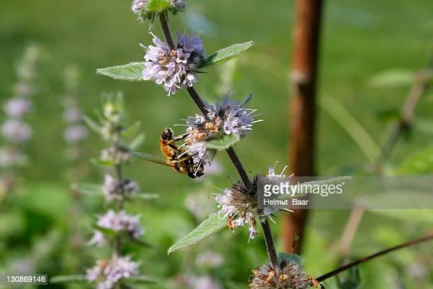 bee pollinating a peppermint blossom (mentha x piperita) - x art stock-fotos und bilder