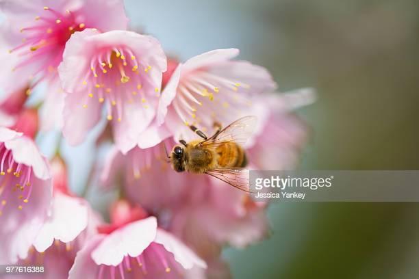 Bee pollinating cherry blossom, Okinawa, Japan