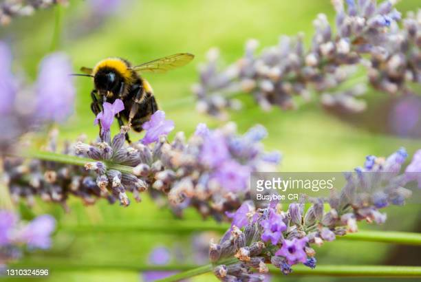 bee pollinating lavender flower - bumblebee stock pictures, royalty-free photos & images