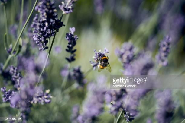 a bee pollinating lavender - wildtier stock-fotos und bilder