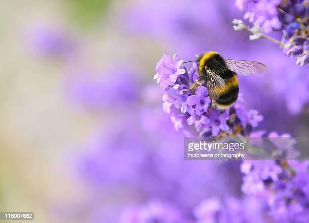 bee pollinating lavender - ハナバチ ストックフォトと画像