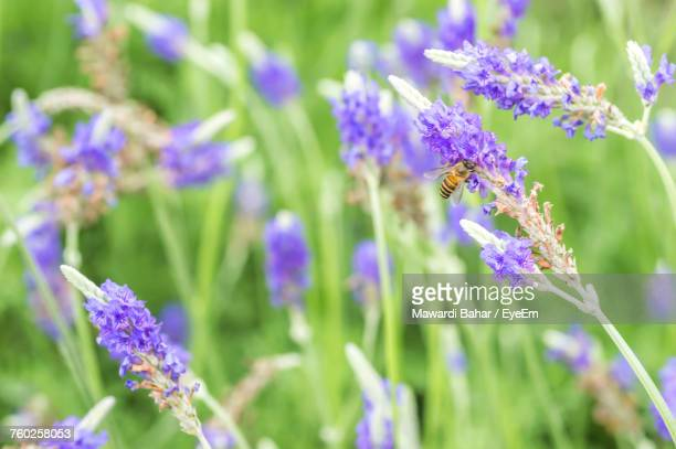 Bee Pollinating On Lavender Flowers