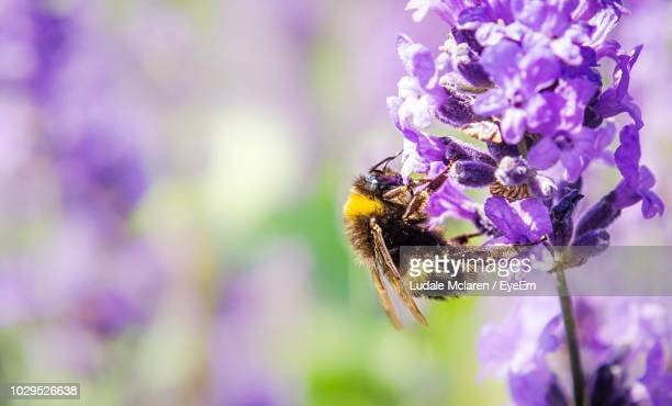 bee pollinating on purple flower - borough of lewisham stock pictures, royalty-free photos & images