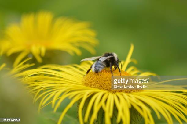 Bee Pollinating On Yellow Flower