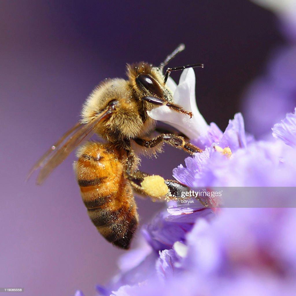 Biene pollinating purple flower : Stock-Foto