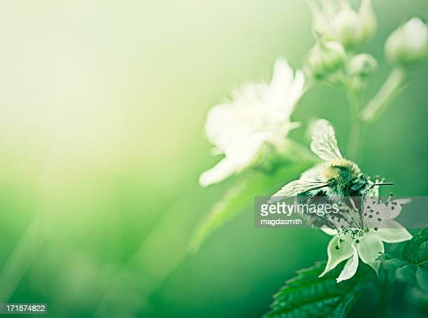 bee pollinating strawberry flower