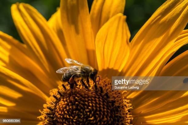 Bee pollinating yellow helenium daisy flower