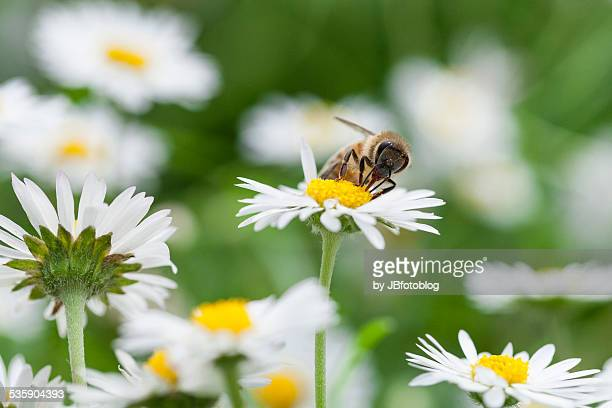 A bee sipping nectar