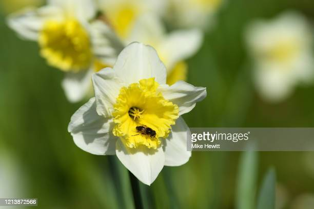 A bee sits on a daffodil at the National Trust property Uppark House and Garden on March 21 2020 in Petersfield England Coronavirus has spread to at...