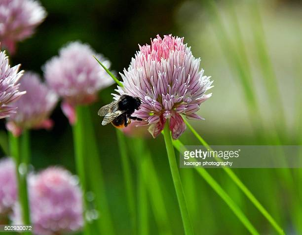 Bee sitting on a chive blossom