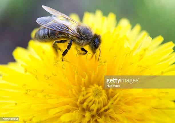 Bee sitting on a flower Banie Mazurskie Poland on 18 May 2016