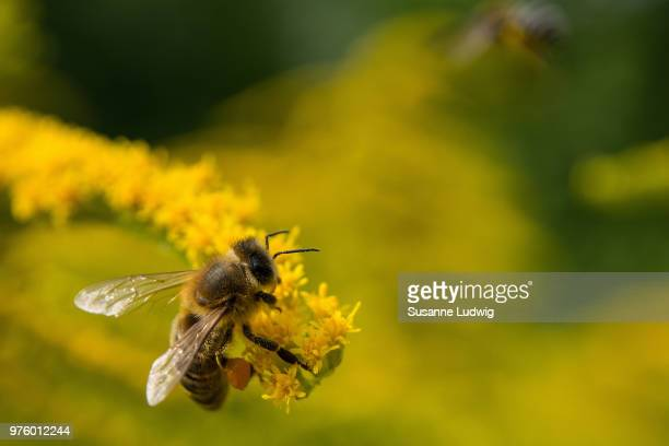 Bee sitting on goldenrod