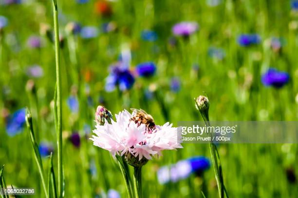 bee sitting on pink cornflower - wildflower stock pictures, royalty-free photos & images