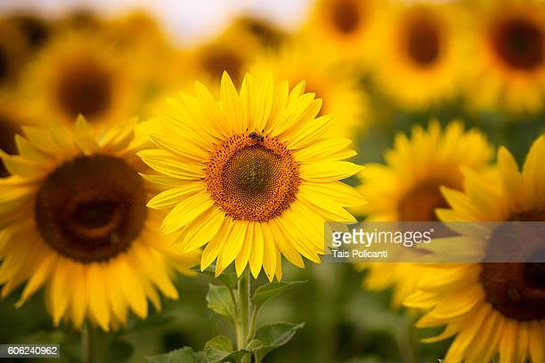 a bee standing in a sunflower at a sunflower field - girasoli foto e immagini stock