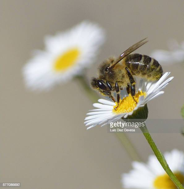 bee sucking daisy