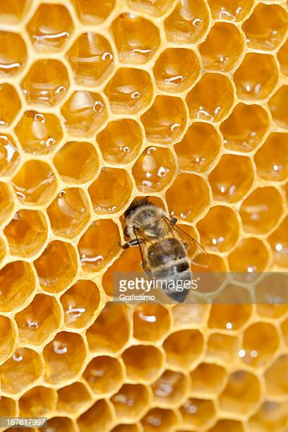 Bee working on honey comb