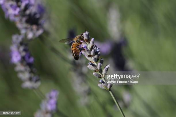 bee-2014e.jpg - james popple stock photos and pictures