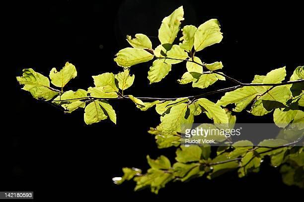 Beech branch foliage