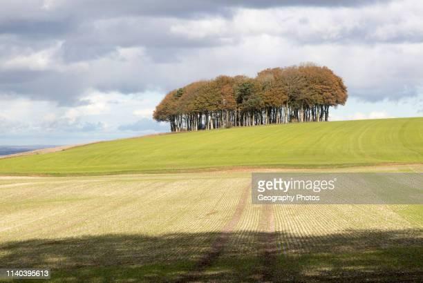 Beech copse on chalk scarp slope landscape on Ridgeway west of Hackpen Hill Broad Hinton Wiltshire England UK