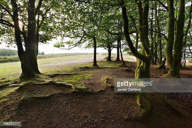 beech copse - newpremiumuk stock pictures, royalty-free photos & images