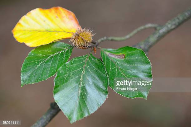 Beech -Fagus sylvatica-, foliage, Emsland, Lower Saxony, Germany