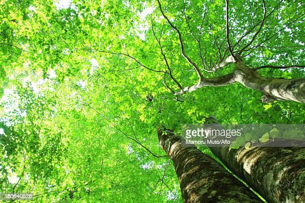Beech forest, Akita Prefecture