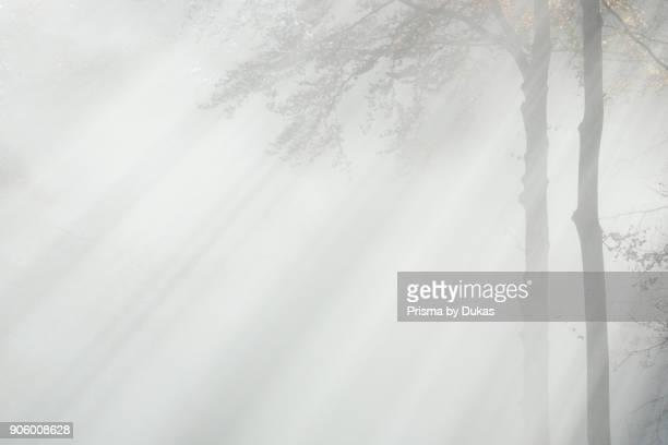Beech forest and fog Switzerland