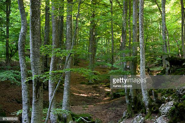 Beech forest at Mount St Adrian Way of saint James Basque country 21th Juny 2008