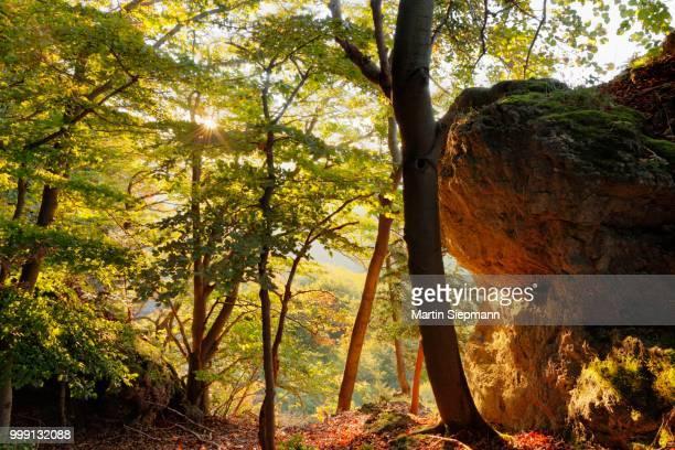 Beech forest at the Roethelfels or Roetelfels climbing rock, morning, Franconian Switzerland, Upper Franconia, Franconia, Bavaria, Germany