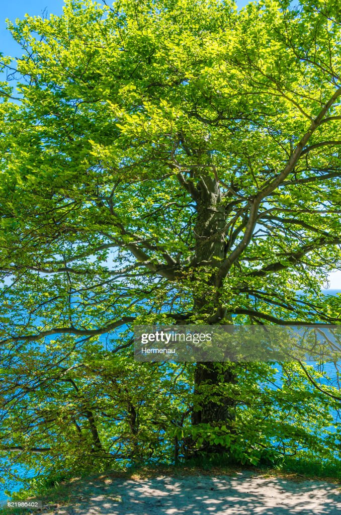 beech forest at the sea : Stock Photo