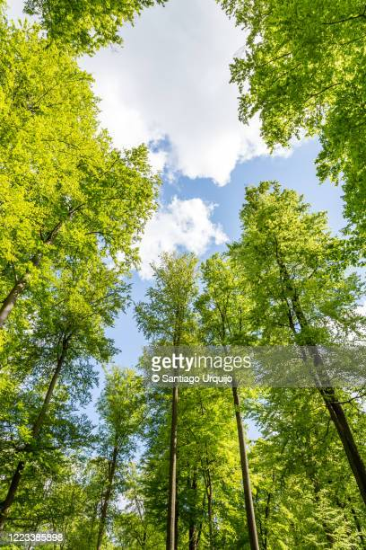 beech forest canopy in springtime - treetop stock pictures, royalty-free photos & images