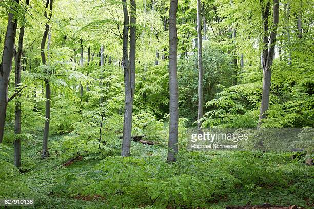 Beech forest covered in lush green foliage
