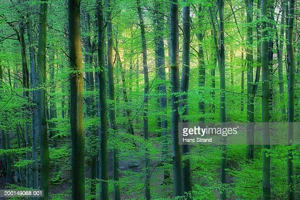 Beech forest, dusk, spring