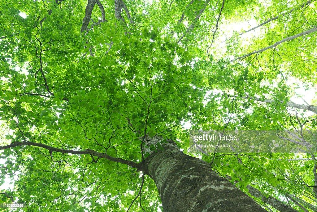 Beech forest, Hokkaido : Stock Photo
