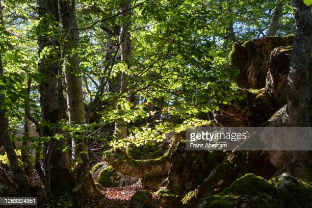 beech forest in abruzzo national park, italy - parco nazionale d'abruzzo foto e immagini stock