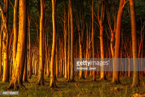 beech forest in evening light ghost forest nienhagen