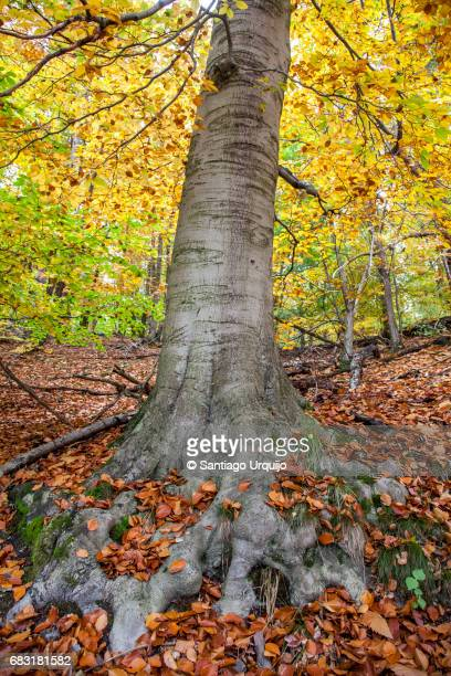 Beech forest in fall