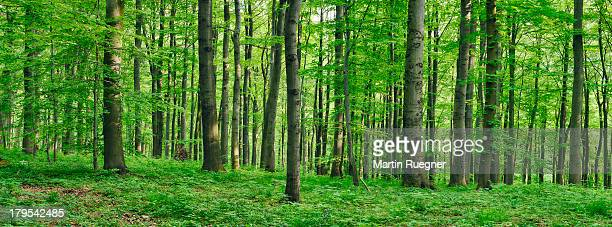 beech  forest in spring - panoramique photos et images de collection